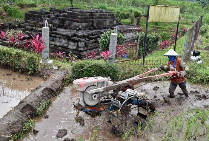 Cagar Budaya Candi Pendem Antara Foto Petani Membajak Sawah Berada