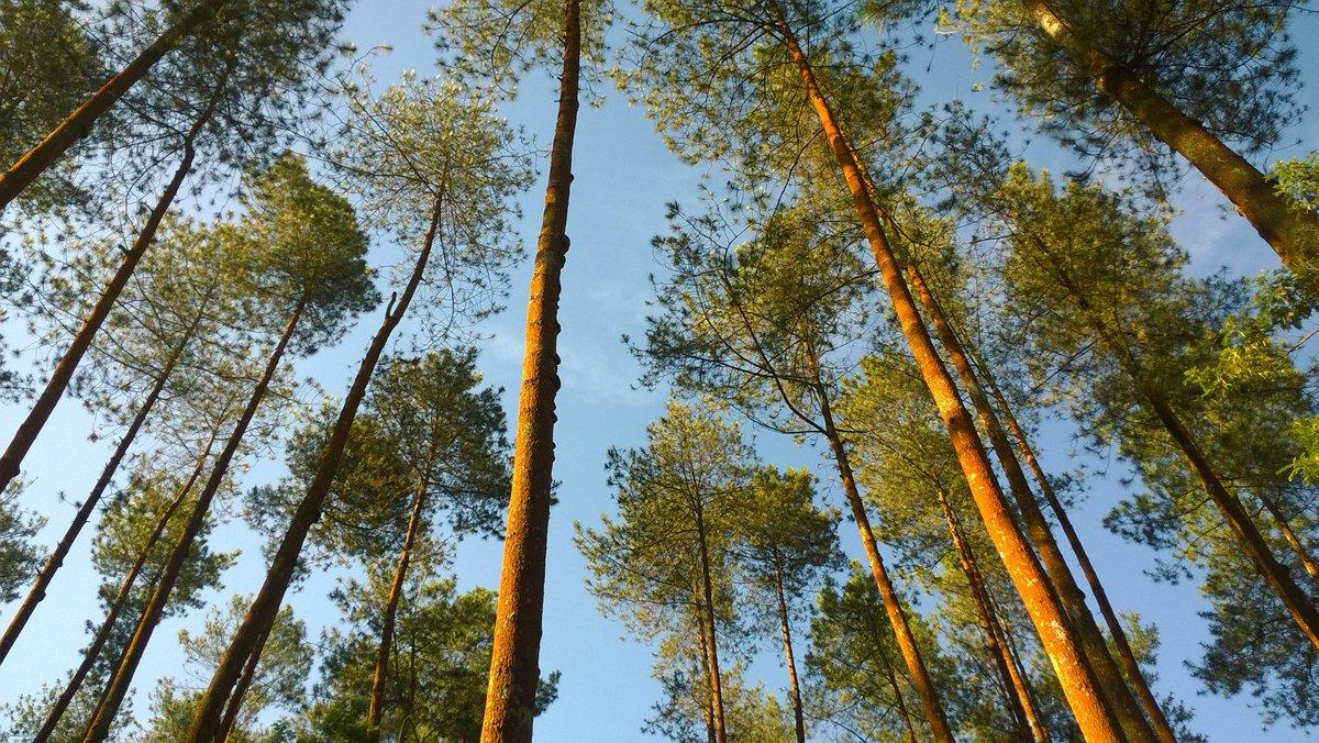 Duniajogjanews Twitter Pesona Hutan Pinus Grenden Kec Pakis Kab Magelang