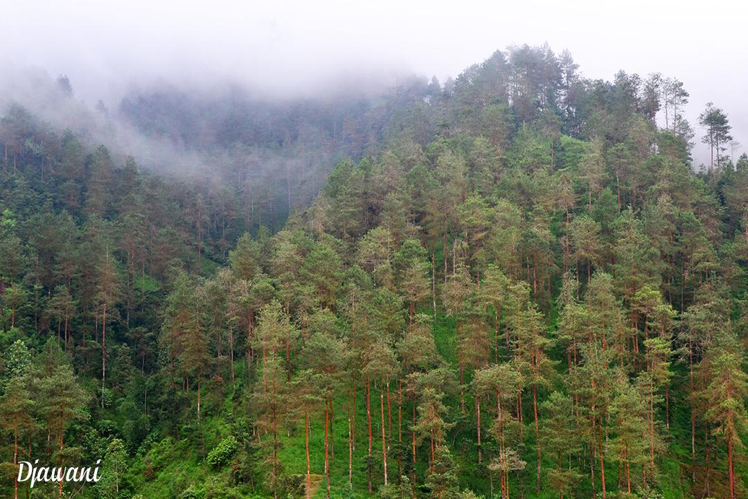 Grenden Hutan Pinus Lereng Merbabu Kab Magelang