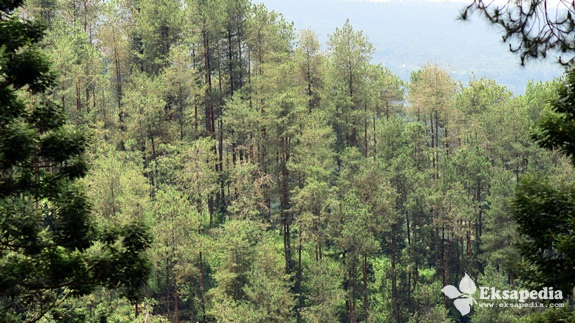Hutan Pinus Grenden Desa Pakis Trip Quotes Eksapedia Pepohonan Merbabu