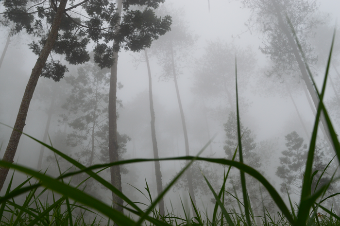 Asmarainjogja Medianya Sahabat Muda Berita Rumput Gajah Hutan Pinus Grenden