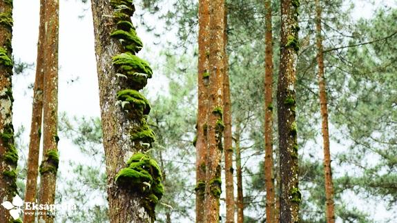 Hutan Pinus Grenden Desa Pakis Trip Quotes Eksapedia Pohon Magelang