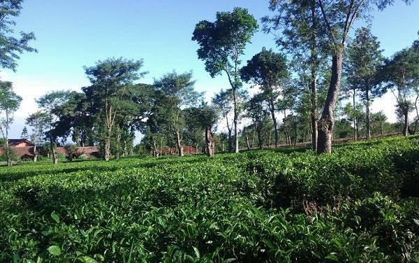 Agrowisata Kebun Teh Wonosari Lawang Malang Xtranstravel Penginapan Tiket Masuk