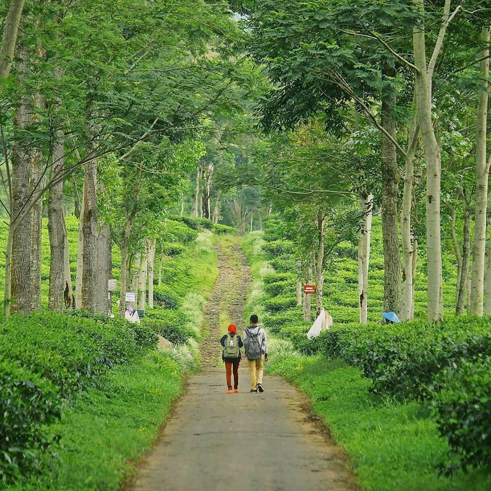 Ayo Berkunjung Kawasan Wisata Edukasi Kebun Teh Wonosari Malang Berada
