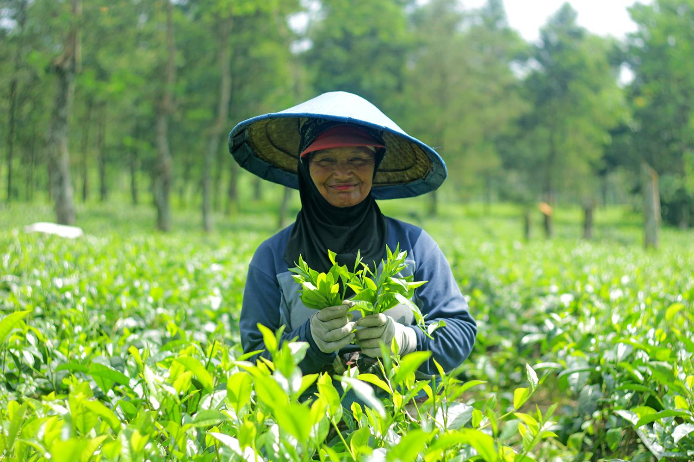 Berwisata Malang Menikmati Harmoni Lanskap Hingga Seduhan Teh Kebun Wonosari