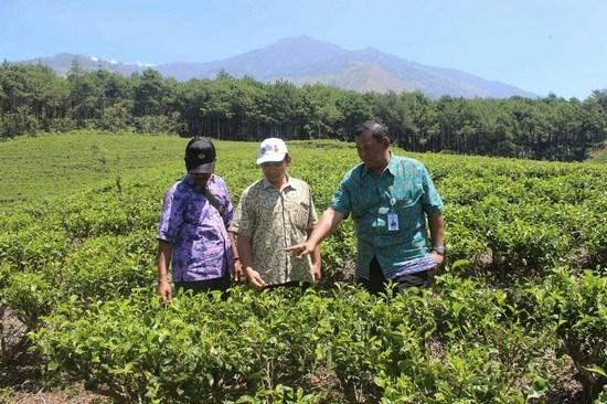 Kebun Teh Wonosari Antisipasi Serangan Hama Penyakit Harian Manager Ptpn