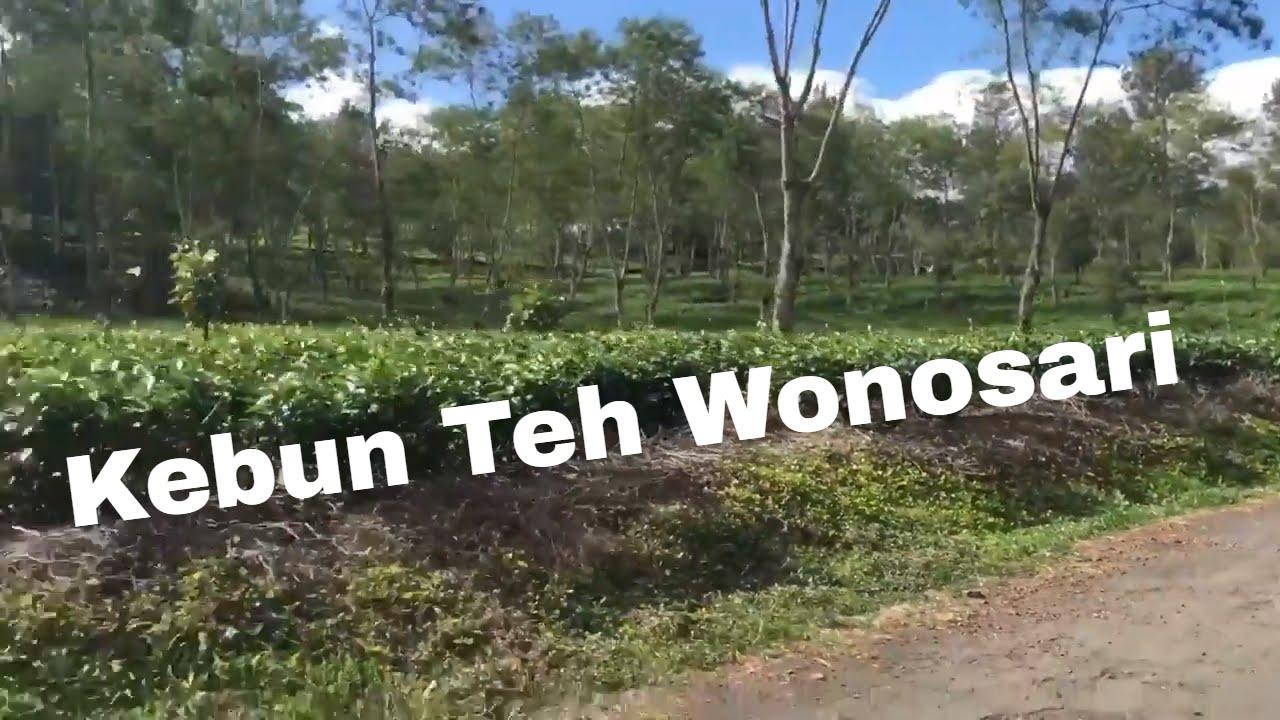 Kebun Teh Wonosari Kota Lawang Youtube Kab Malang