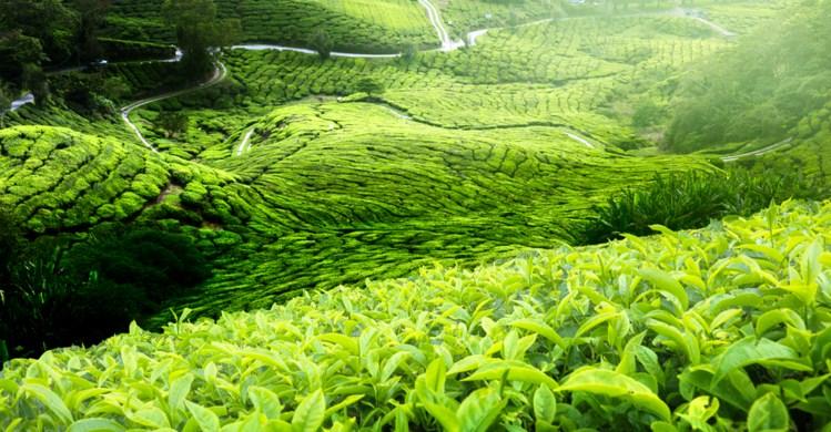 Kebun Teh Wonosari Lawang Jawa Timur Lokasi Tiket Masuk Agrowisata