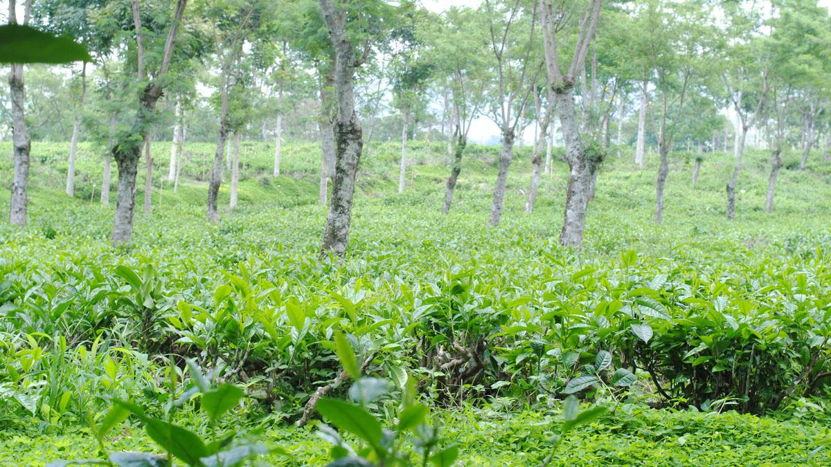 Kebun Teh Wonosari Tempat Liburan Asyik Dekat Surabaya Semakin Mendekat
