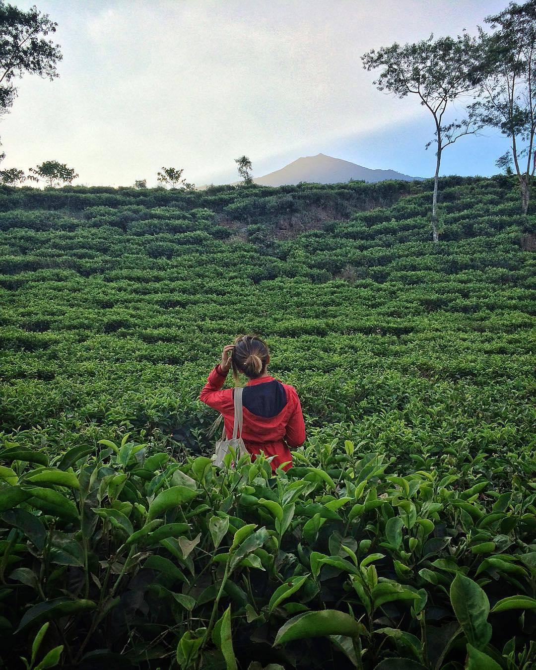 Menemukan 10 Keistimewaan Kebun Teh Bukit Kuneer Wonosari Malang Kesejukan