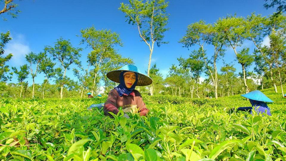 Pesona Keindahan Agrowisata Kebun Teh Wonosari Lawang Jawa Timur Kab
