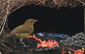 Michaelullo Burung Pintar Cagar Alam Pegunungan Arfak Kab Manokwari