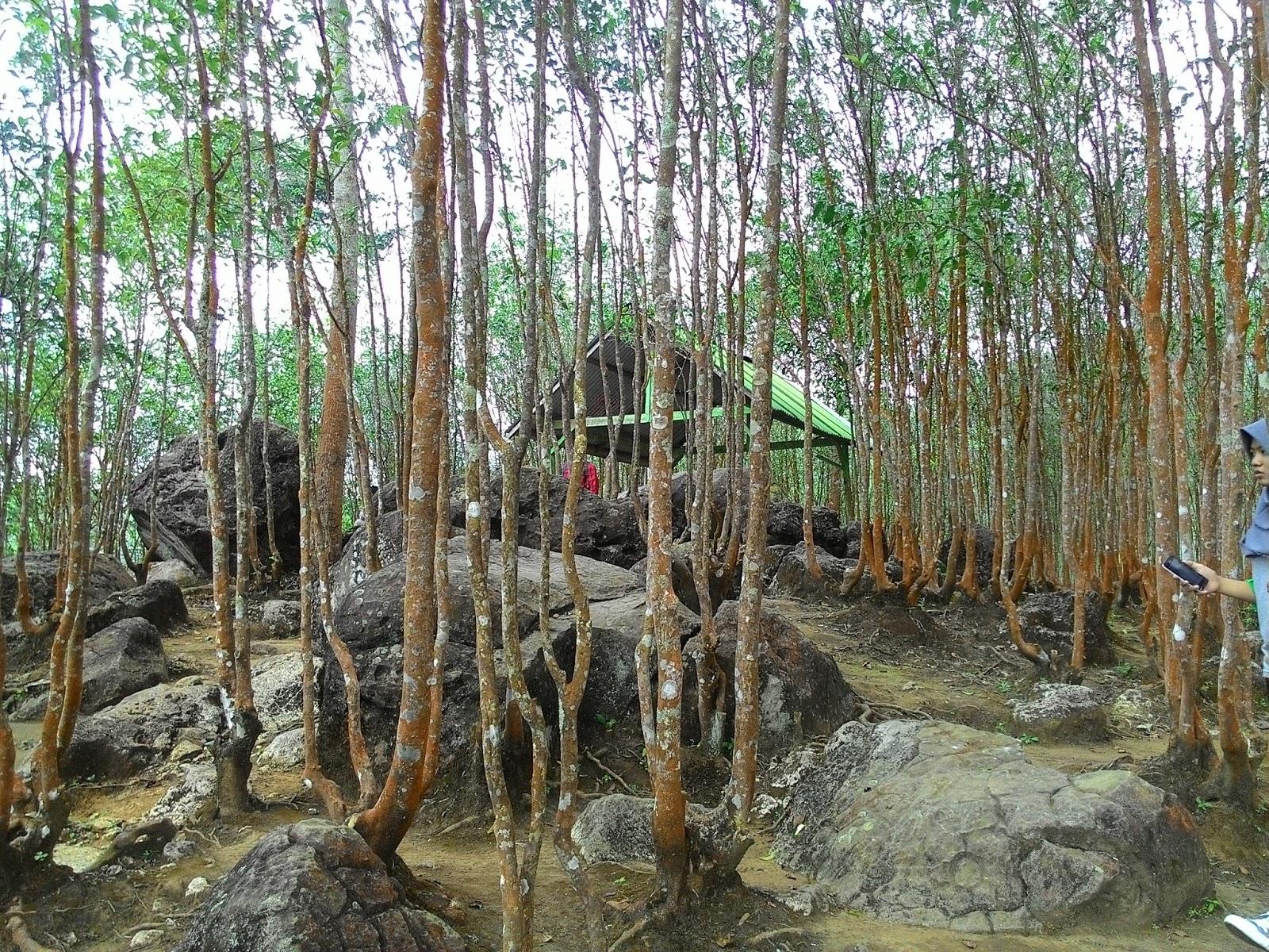 Prusikadv 2017 Pohon Teh Tua Puncak Pyramida Kebun Jamus Kab