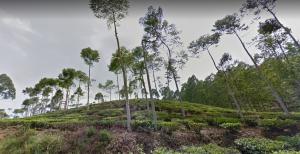 Wisata Kebun Teh Jamus Ngawi Info Lokasi 3 Kab Nganjuk