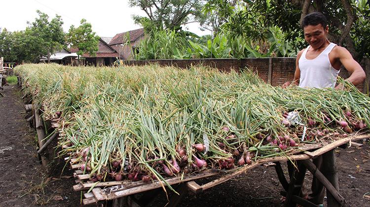 Nganjuk Tourism Shallots Market Bawang Merah Tanaman Agrobisnis Sebagai Salah
