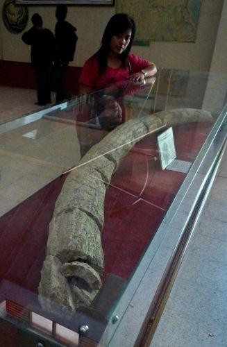 Museum Trinil Antara Foto Pengunjung Mengamati Fosil Gading Gajah Purba