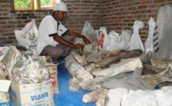 Ribuan Fosil Purba Museum Trinil Dititipkan Rumah Warga Tribun Musium