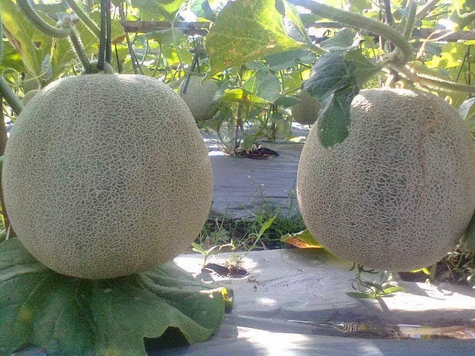 Zona Informasi Seputar Ngawi 2017 Berangkat Situlah Melon Menjadi Trademark