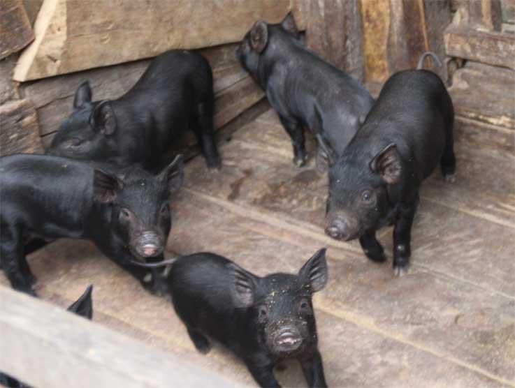 Sumber Daya Alam Ajaib Wilayah Perbatasan Krayan Harga Babi Anakan