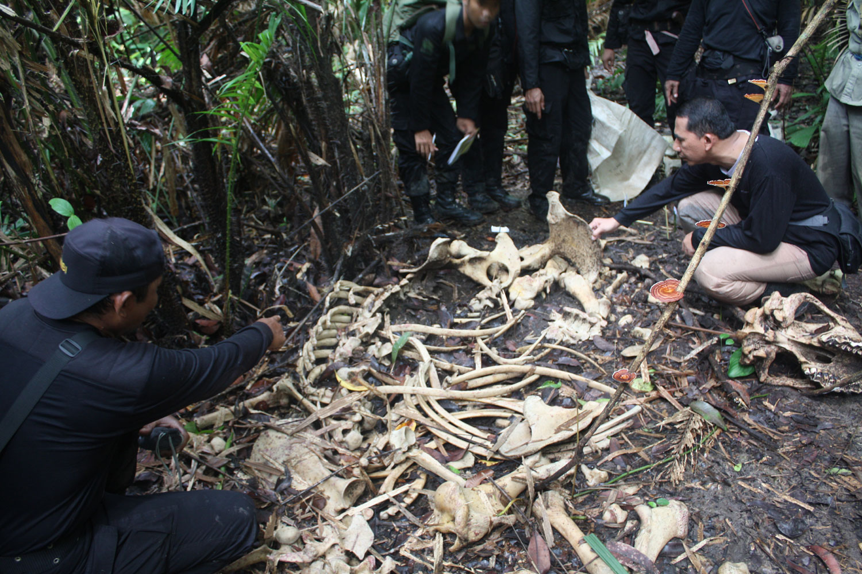 Badak Mati Ditemukan Sekitar Areal Tn Ujung Kulon Wwf Indonesia