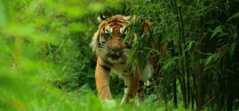 Dinyatakan Punah Harimau Jawa Tiba Terlihat Taman Nasional Menangkap Penampakan