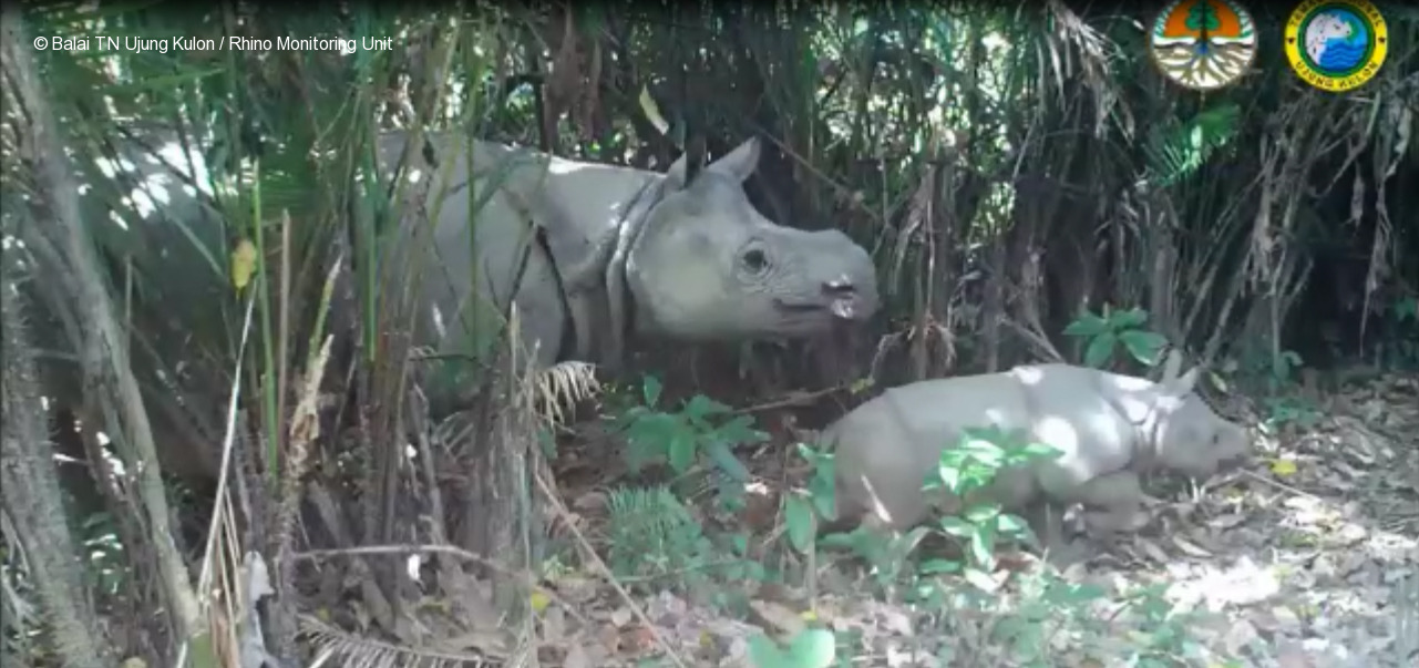 Empat Nama Unik Bayi Badak Jawa Ujung Kulon Taman Nasional