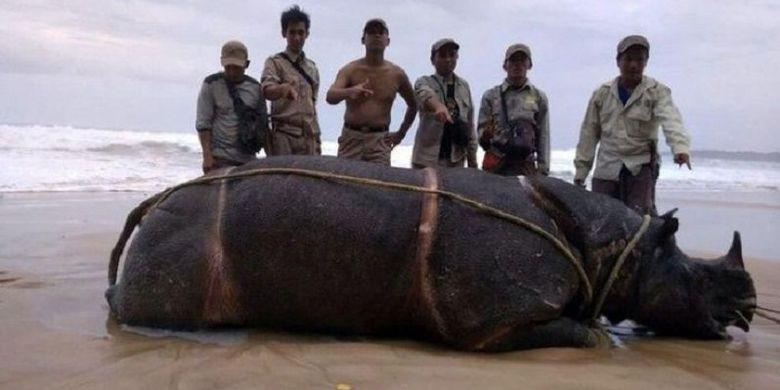 Ujung Kulon Badak Jawa Bercula Satu Bernama Samson Ditemukan Bangkai