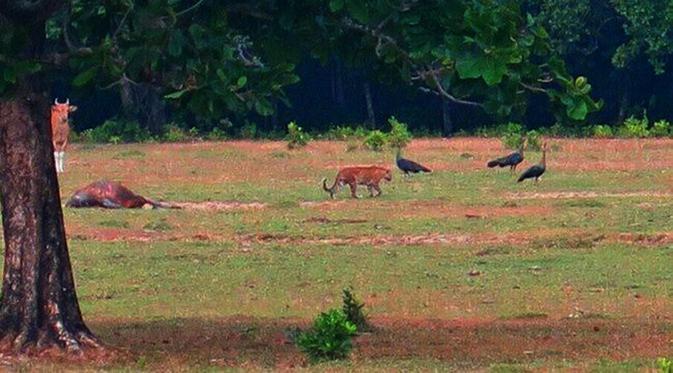 Warga Ujung Kulon Sebut Harimau Jawa Sebagai Abah Gede Regional