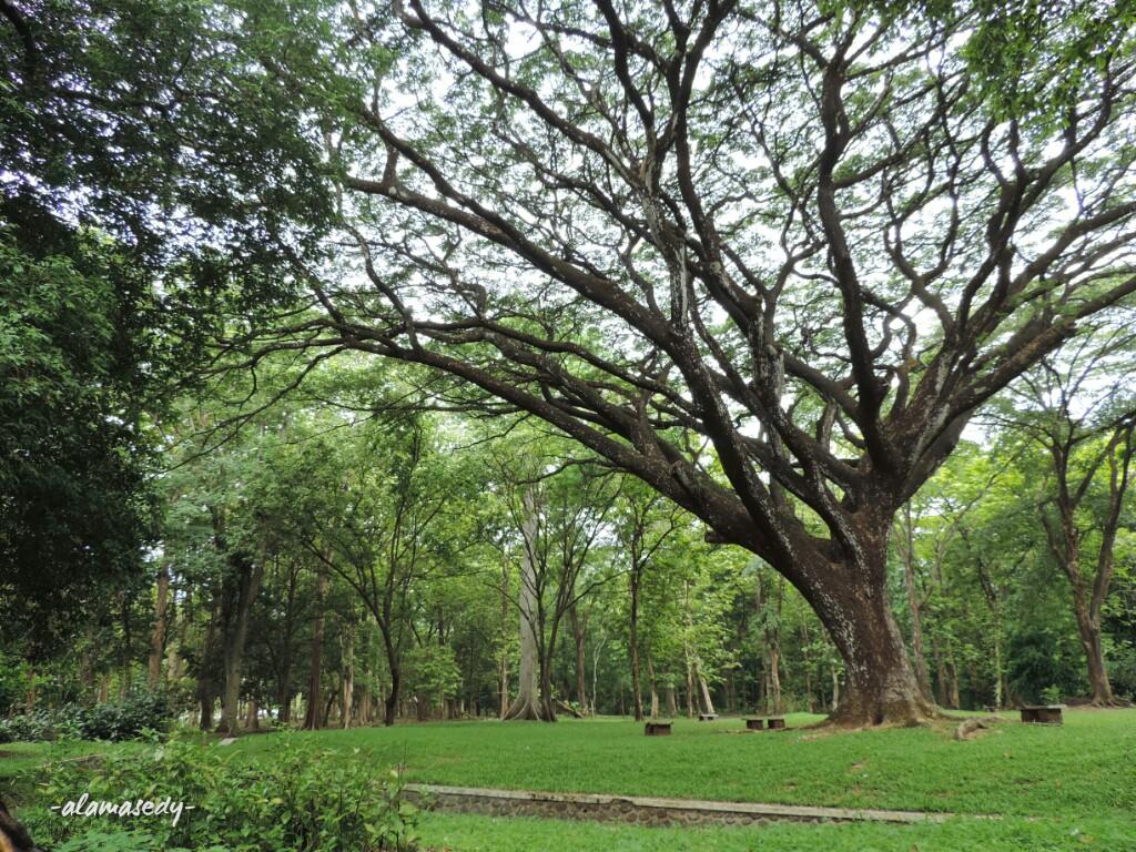 Bertemu Pohon Unik Kebun Raya Purwodadi Alamasedy Tinggi Rindang Kab