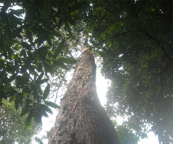 Lipi Bersama Kabupaten Pasuruan Konservasikan Pohon Langka Lembaga Ilmu Pengetahuan
