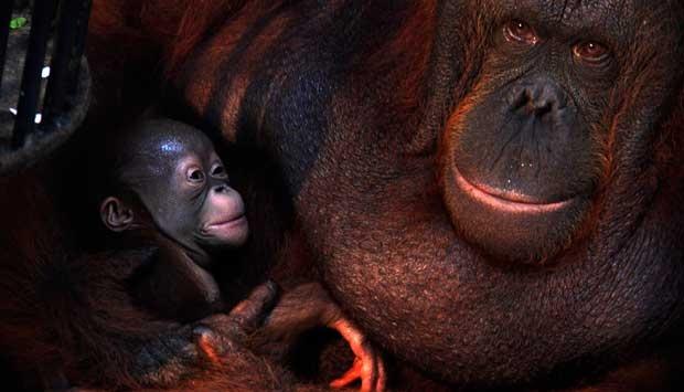Foto Bayi Orangutan Tambah Koleksi Taman Safari Pasuruan Lingkar Indonesia
