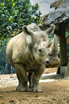 Gading Resto Taman Safari Indonesia 2 Rinocheros Kab Pasuruan