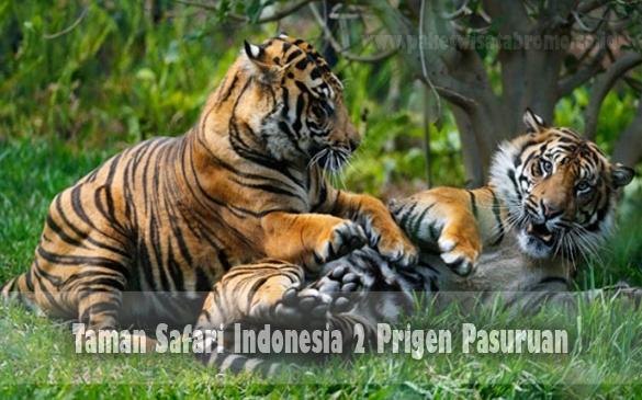Obyek Wisata Taman Safari Indonesia 2 Prigen Pasuruan Paket Kab