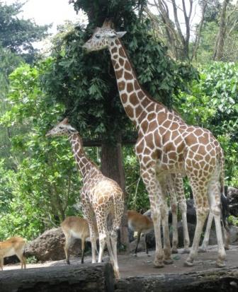 Pesona Wisata Kabupaten Pasuruan Amalia Taman Safari Ii Prigen Indonesia