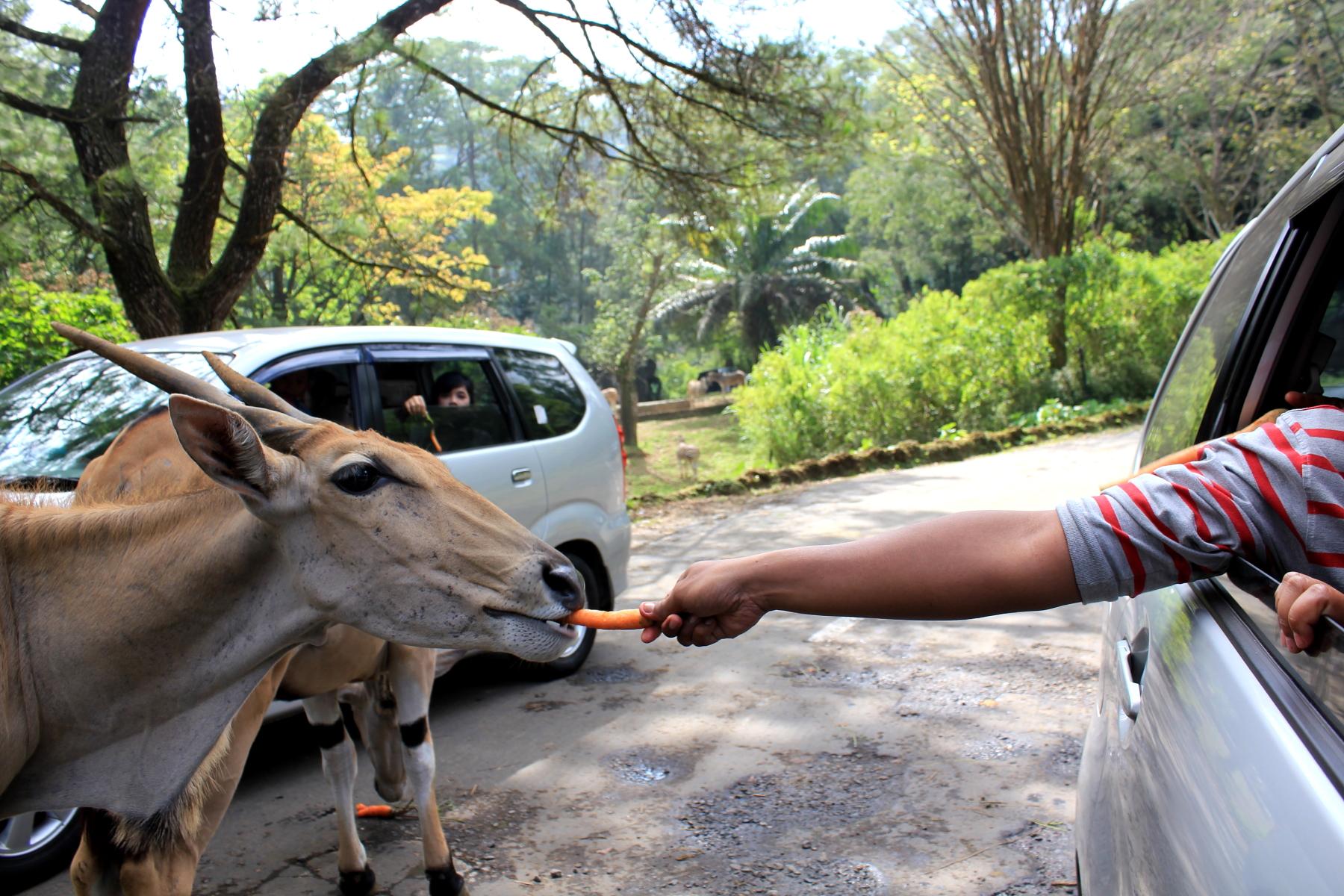 Taman Safari Indonesia Wikipedia Bahasa Ensiklopedia Bebas Memberi Makan Hewan