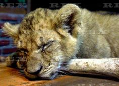 Taman Safari Prigen Indonesia African Lions Born Ii 04 Jan