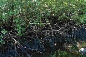 Environment Upaya Melestarikan Hutan Bakau Kawasan Pantai Sepanjang Kabupaten Pati