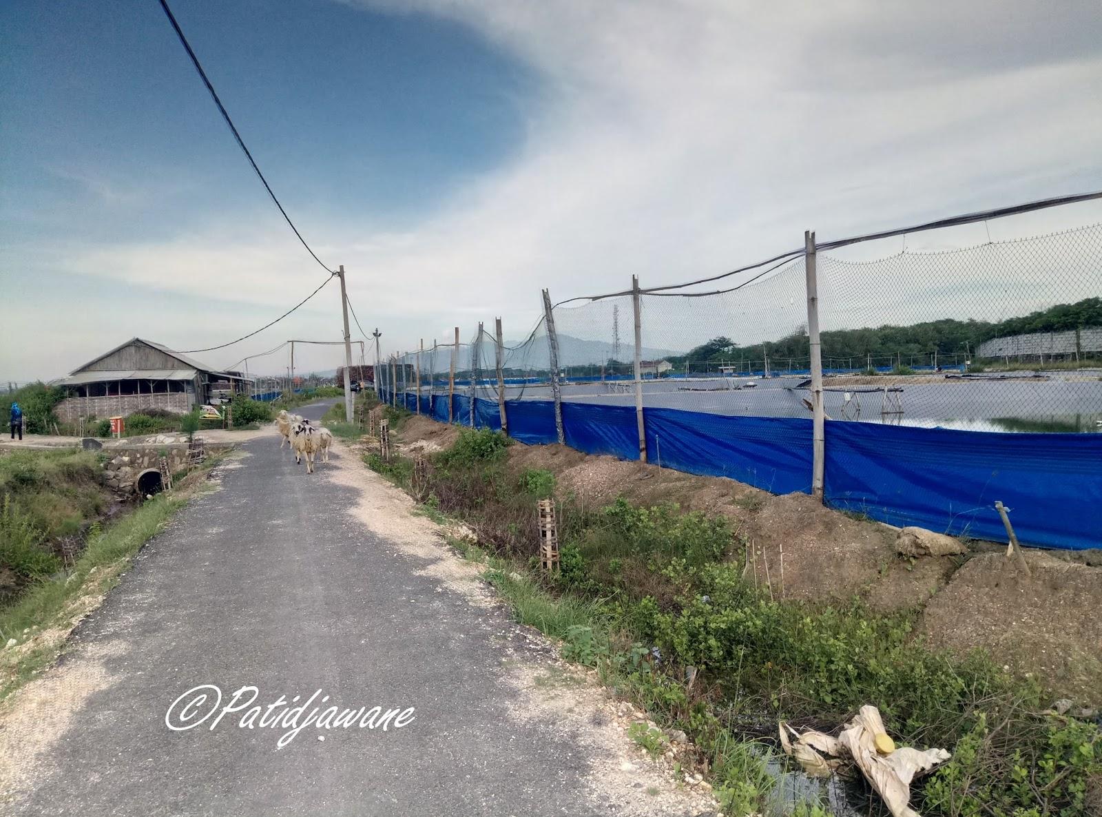 Hutan Mangrove Rembang Ketemu Kawanan Shaun Sheep Pantai Sambilawang Kab