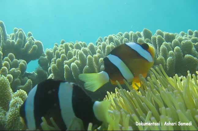 Taman Laut Gonda Desa Laliko Kec Campalagian Kab Polewali Ikan