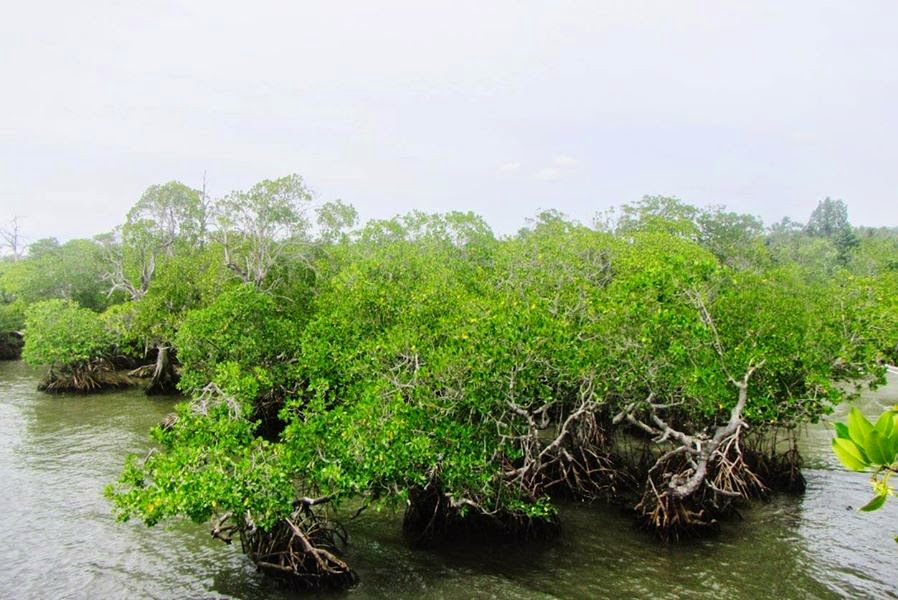 Indahnya Hutan Mangrove Gonda Desa Laliko Polewali Mandar Blog Pesisir
