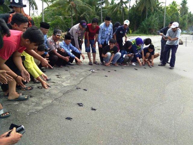 Selama 2017 Yusri Lepas 400 Ekor Tukik Pantai Mampie Penyu