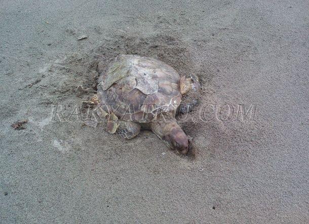 Tiga Ekor Penyu Mati Mengenaskan Pantai Mampie Kab Polewali Mandar
