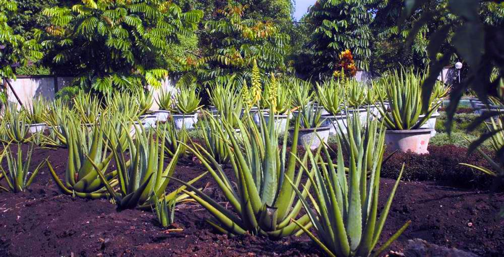 Hutan Kota Arboretum Sylva Untan Pontianak Kalimantan Barat Aloe Vera