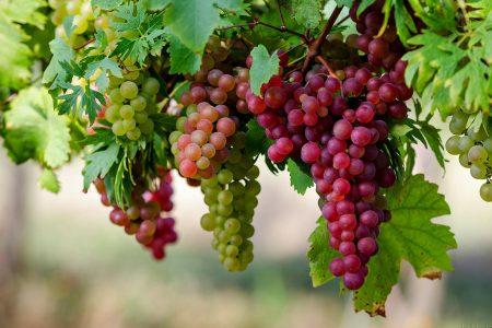 Agrowisata Perkebunan Anggur Probolinggo Sumberbendo Kab