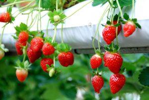 Agrowisata Perkebunan Strawberry Probolinggo Menurut Pengunjung Mampir Buah Strwaberry Berbeda