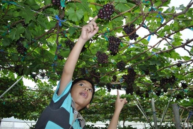 Manisnya Anggur Ala Agrowisata Sumberbendo Jitunews Istimewa Kab Probolinggo