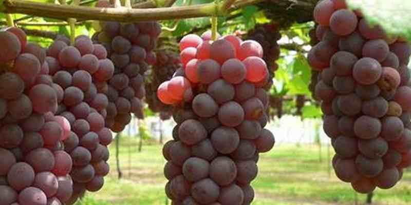 Memetik Anggur Sendiri Yuk Datang Artikel Sumberbendo Kecamatan Sumberasih Kabupaten