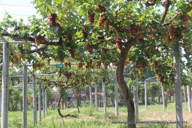Petik Anggur Kebun Percobaan Banjarsari Balitjestro Bs 85 Cardinal Probolinggo