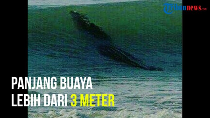 Bikin Geger Buaya Muara Sepanjang 3 Meter Pantai Jatimalang Purworejo