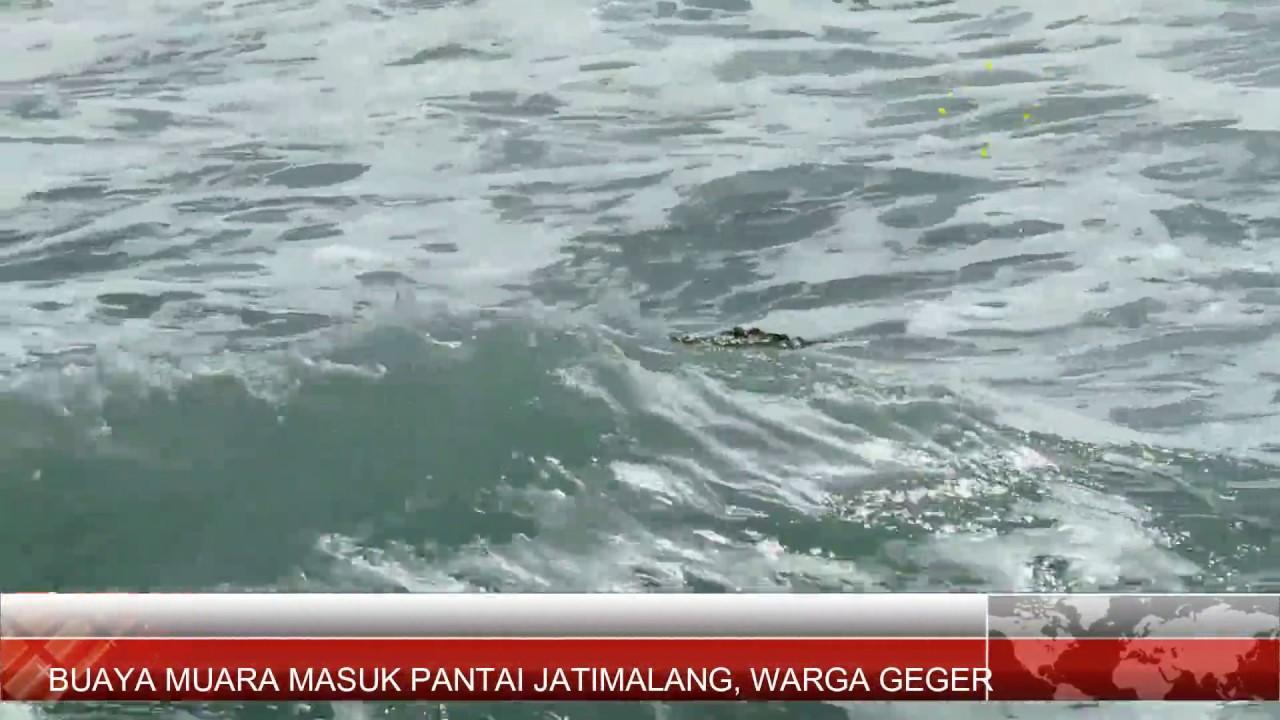 Buaya 3 Meter Gegerkan Wisatawan Pantai Jatimalang Purworejo Jateng Youtube